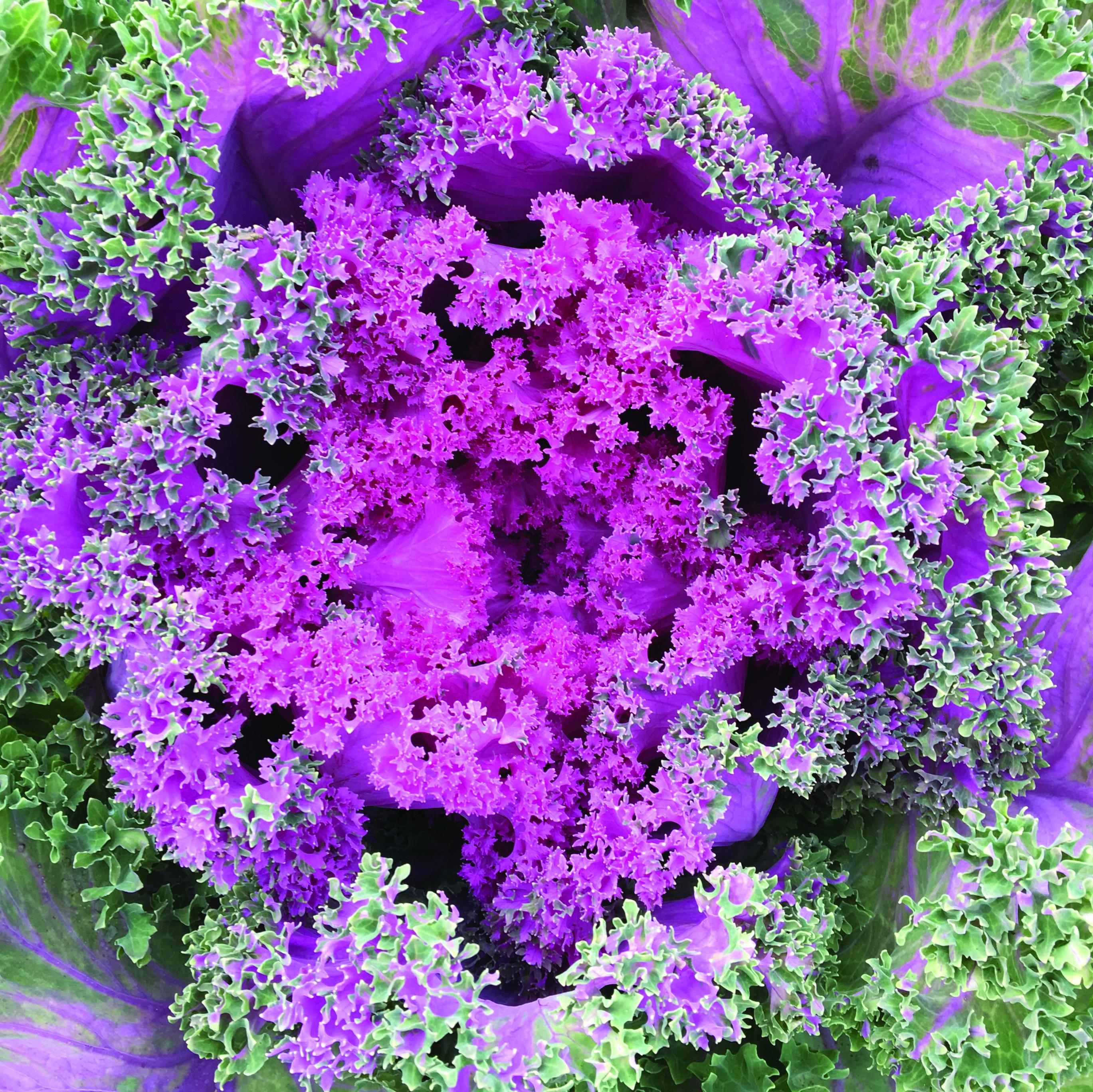 Kale, Garden Crimson