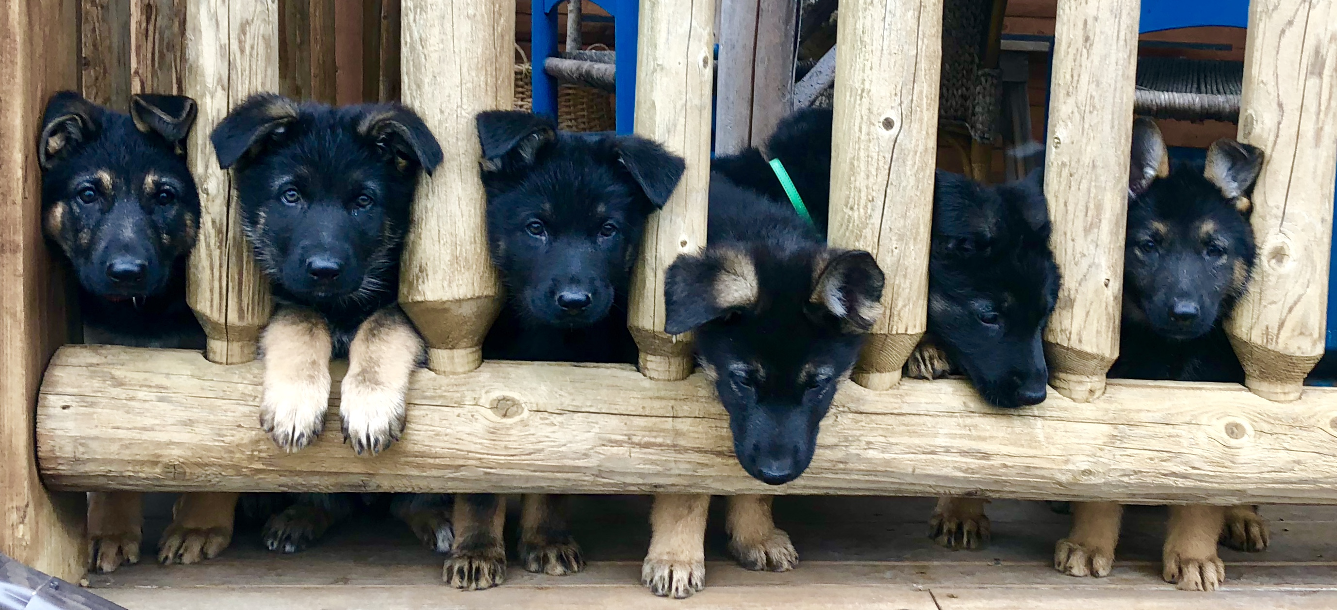 Puppies In Wooden Cage