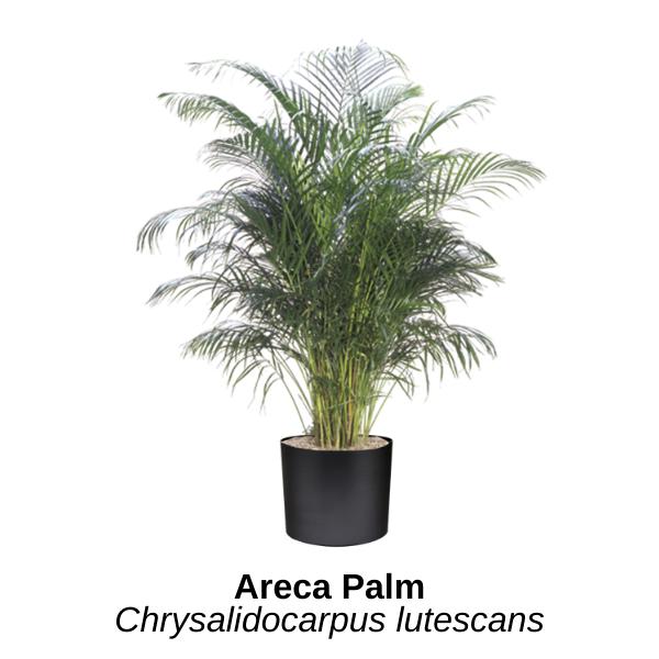 https://0201.nccdn.net/1_2/000/000/196/b14/areca-palm.png