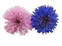 Azulejo (Cornflower)