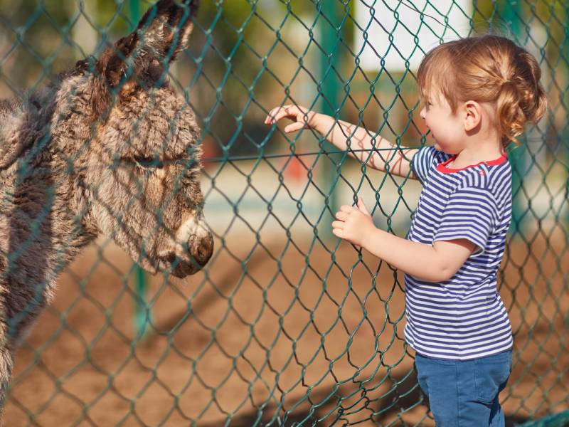 Girl reaching for donkey through fence