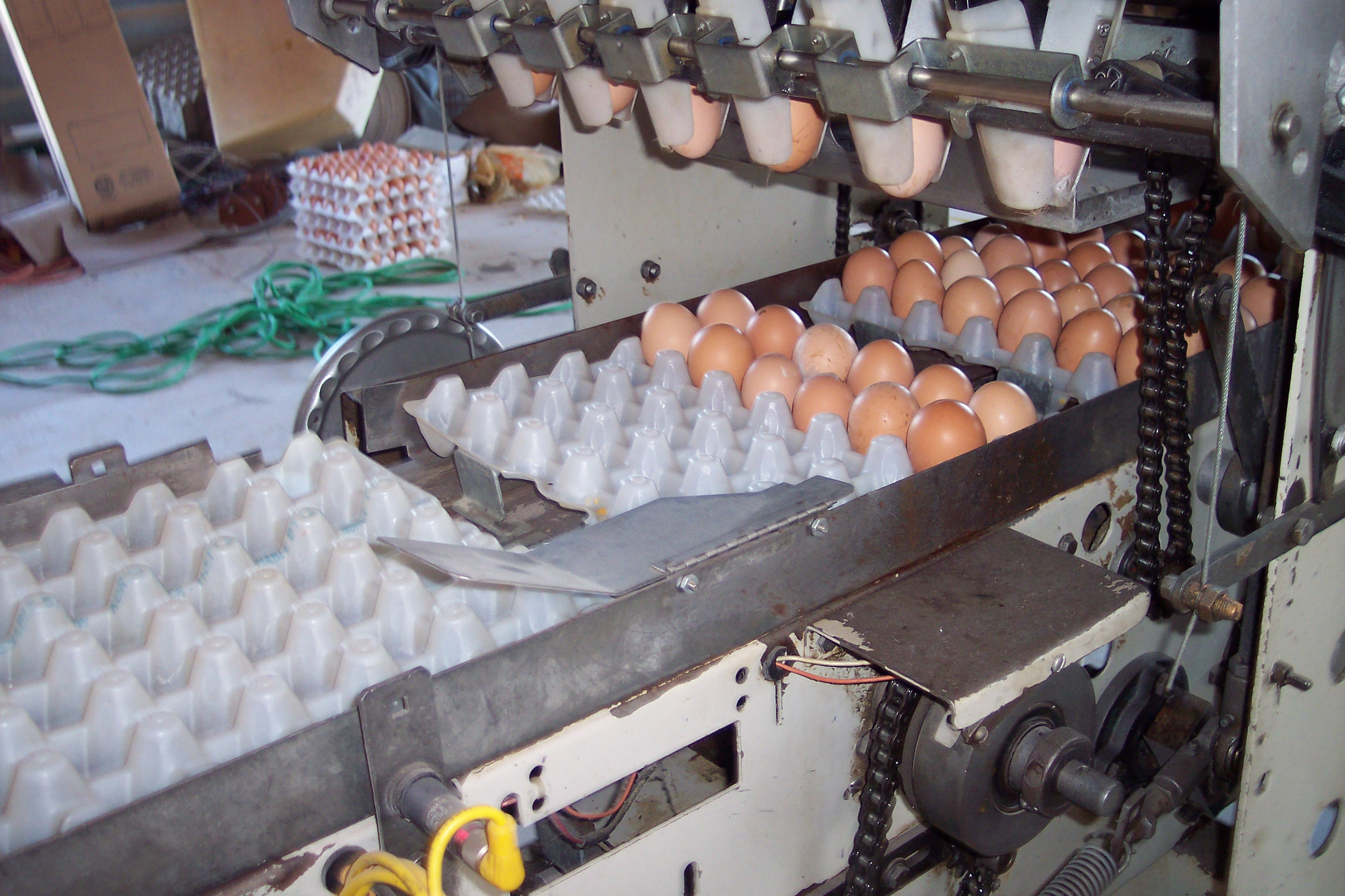 Filling Trays With Eggs