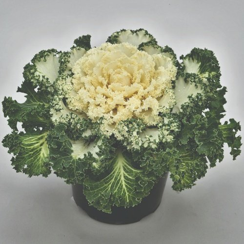 Ornamental Kale Nagoya F1 White