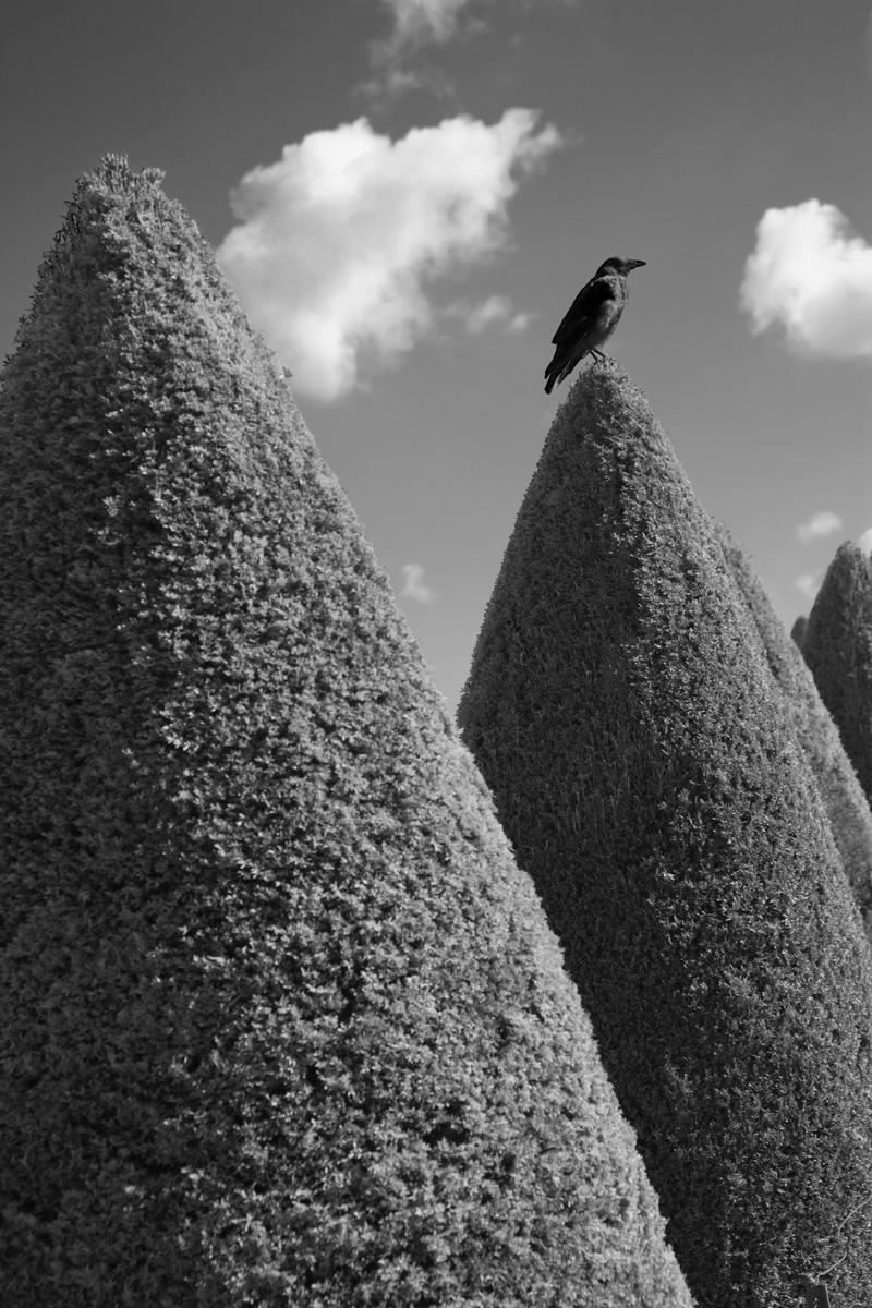 Versailles Crow
