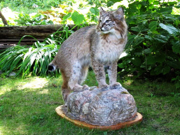 Michigan bobcat on custom rock base