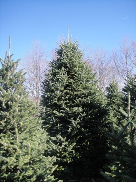 One of our larger Fraser firs.