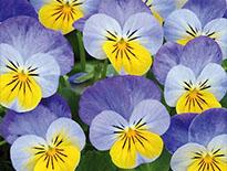 Sorbet Violas