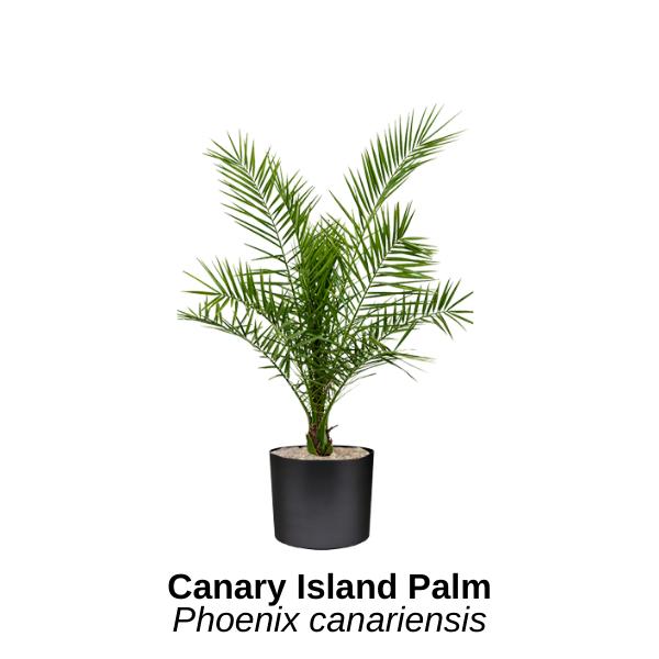 https://0201.nccdn.net/4_2/000/000/002/9e6/canary-island-palm--2-.png