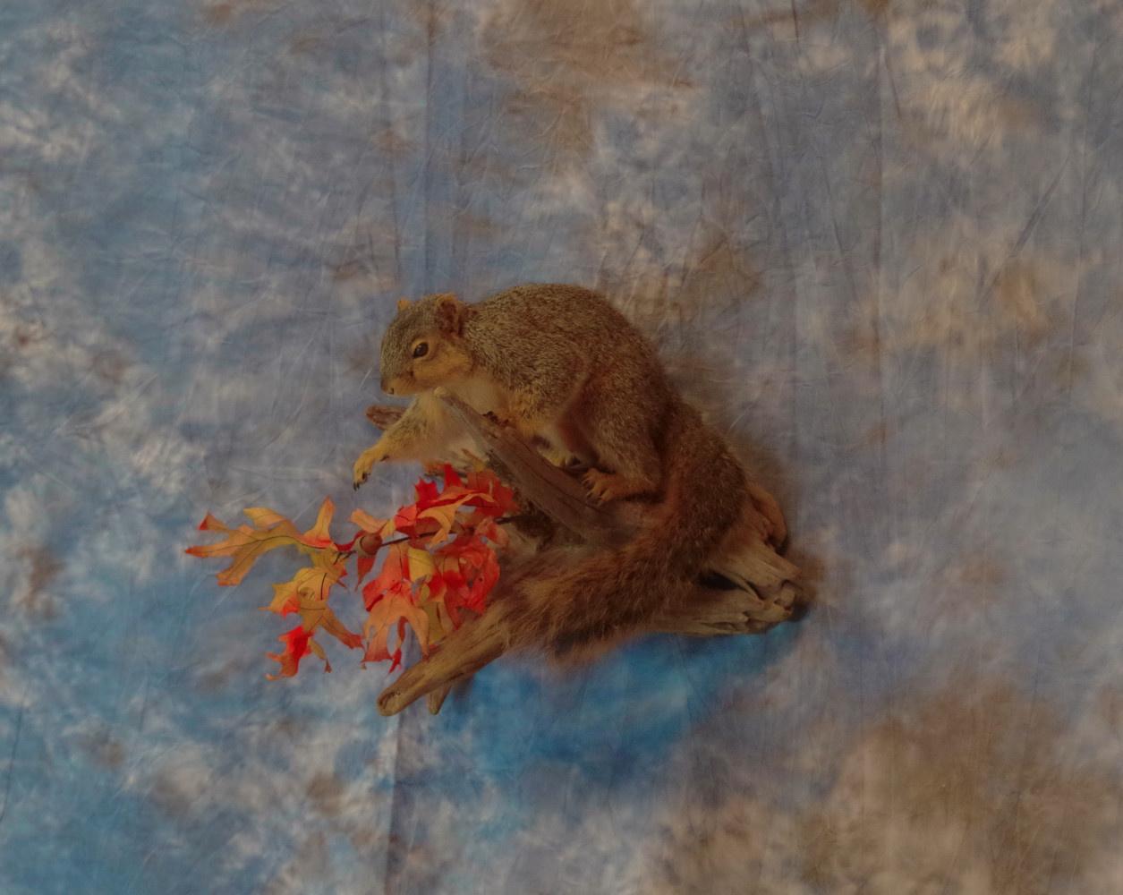 Fox squirrel taxidermy