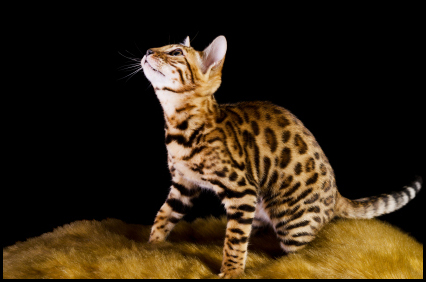 Bengal kitten||||