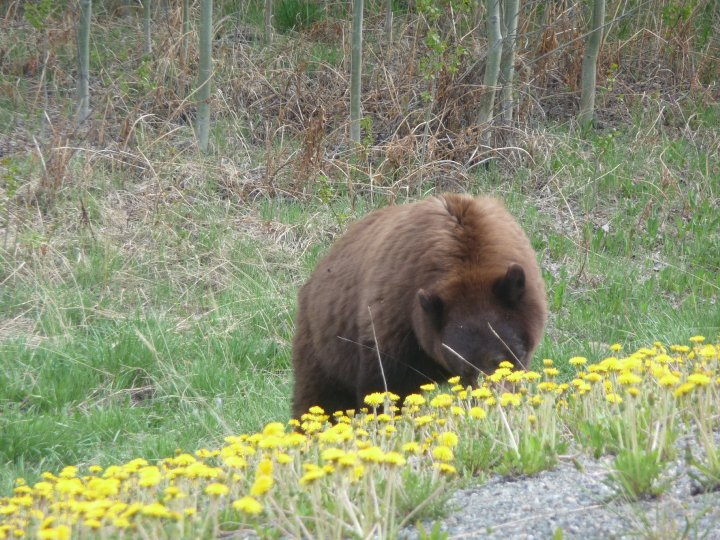 Brown Bear in the Meadow