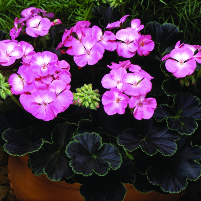 Geranium Black Magic Rose F1