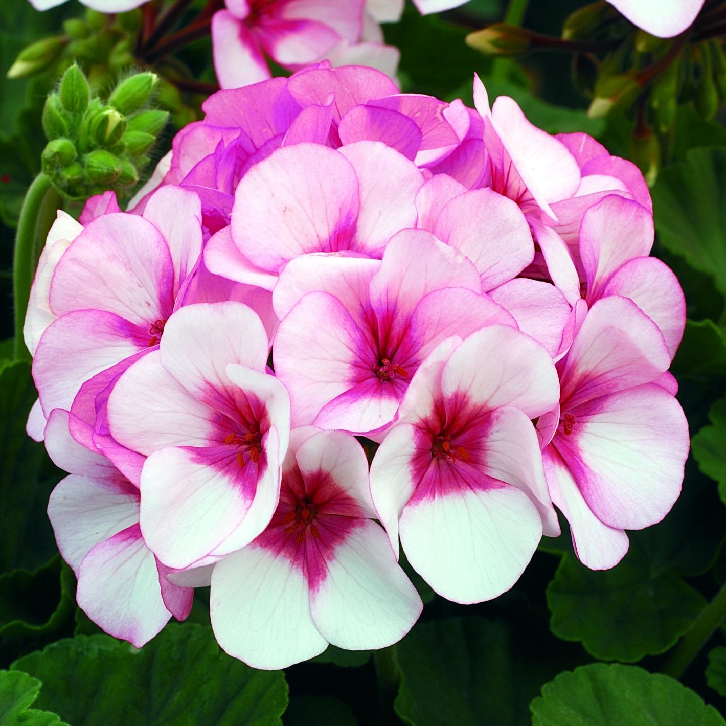 Maverick Star Blush Pink with deep rose eye