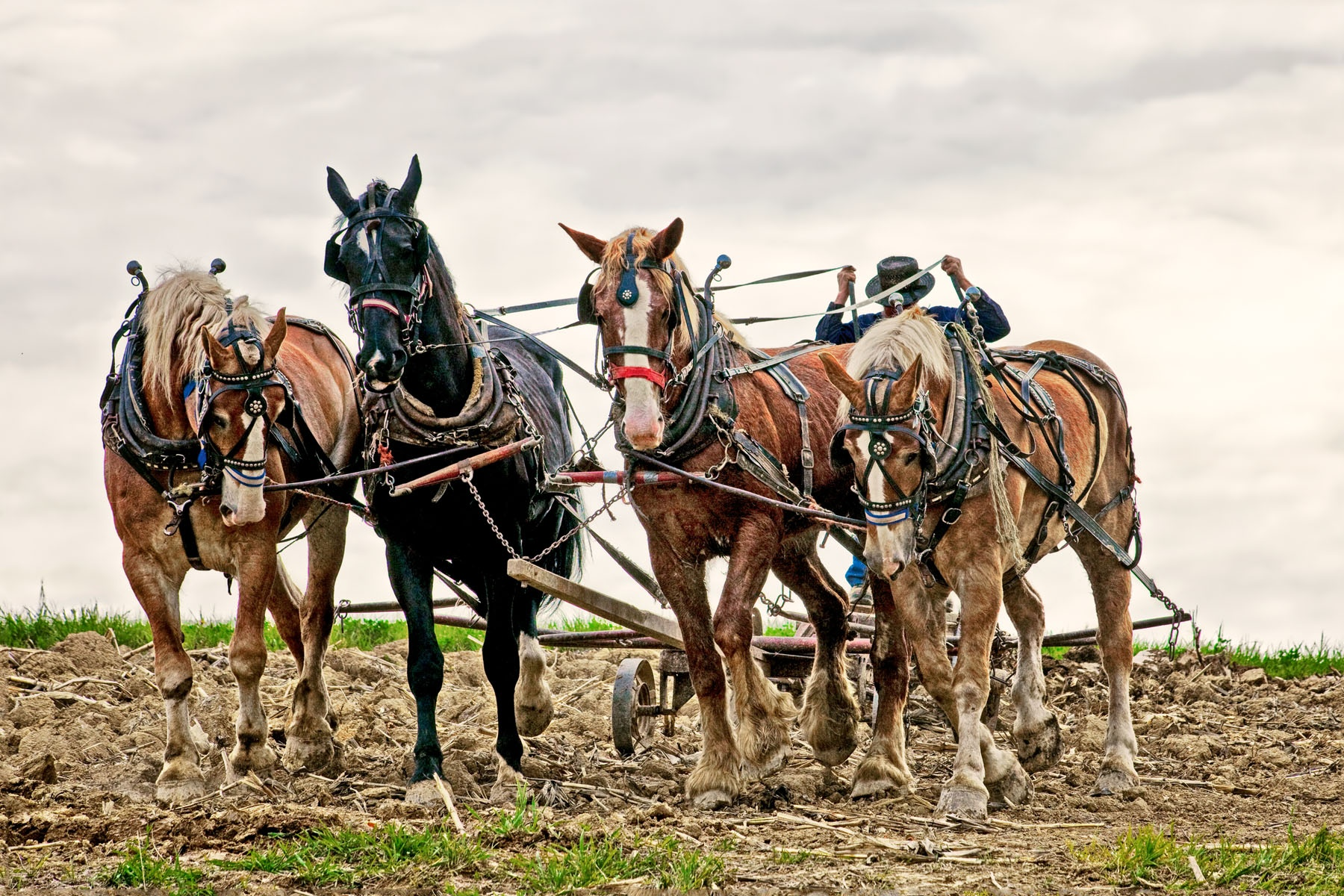TEAM WORK - Though he spoke softly and handled the reigns gently, they did everything he asked them to. This photo of an Amish farmer and his horses was taken by invitation in  central Ohio.