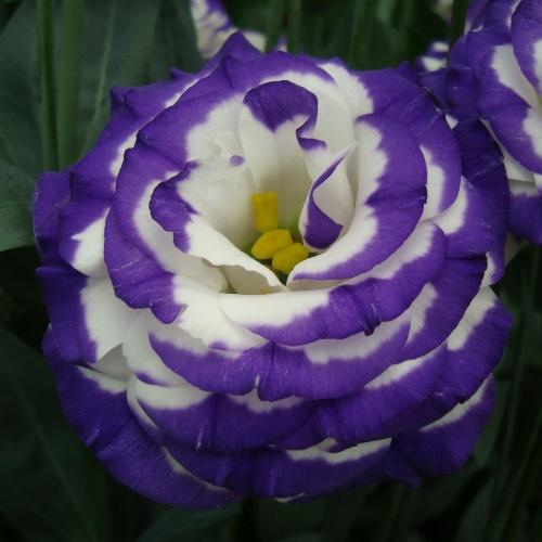 Lisianthus Rosita 2 Blue Picotee F1