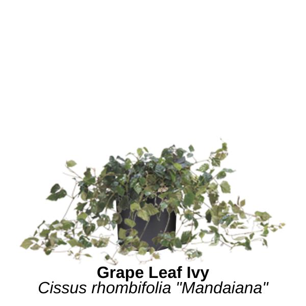 https://0201.nccdn.net/4_2/000/000/008/486/grape-leaf-ivy.png