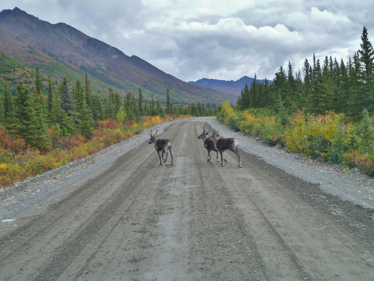 Caribous Crossing Road