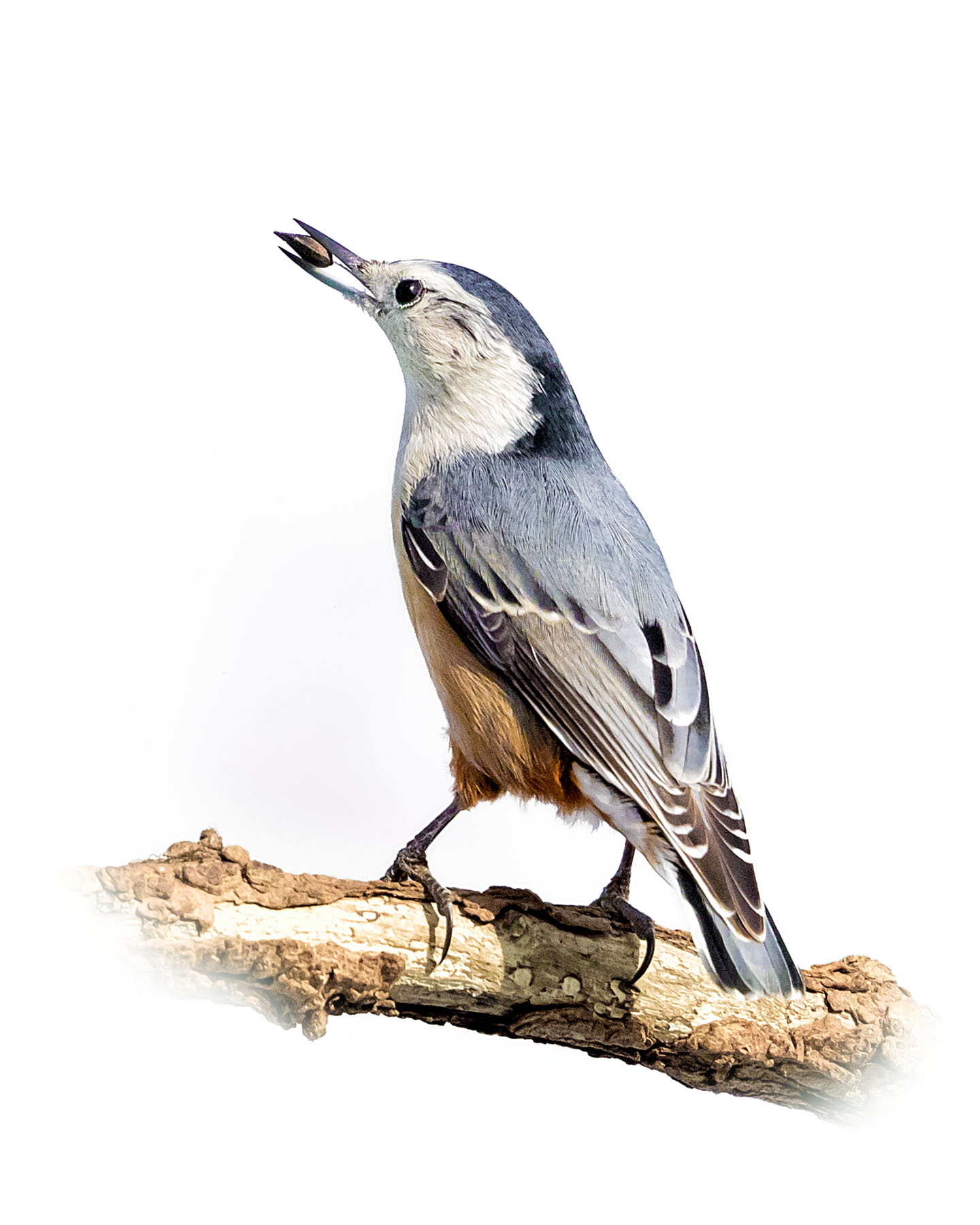 White-breasted Nuthatch 9