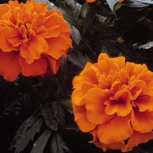 Janie Deep Orange