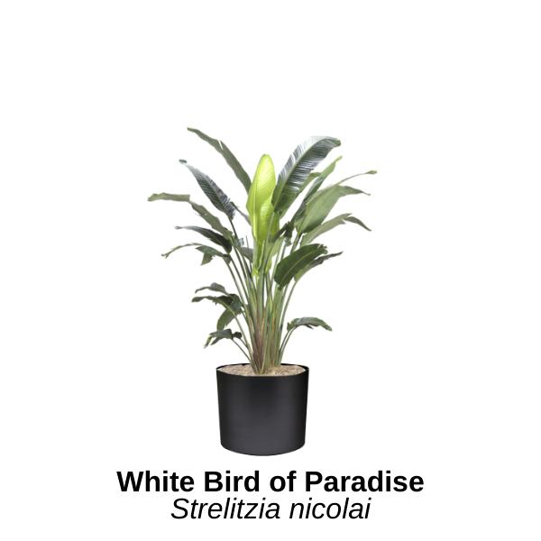 https://0201.nccdn.net/4_2/000/000/00d/f43/white-bird-of-paradise.png