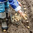 Farmer Planting Potatoes