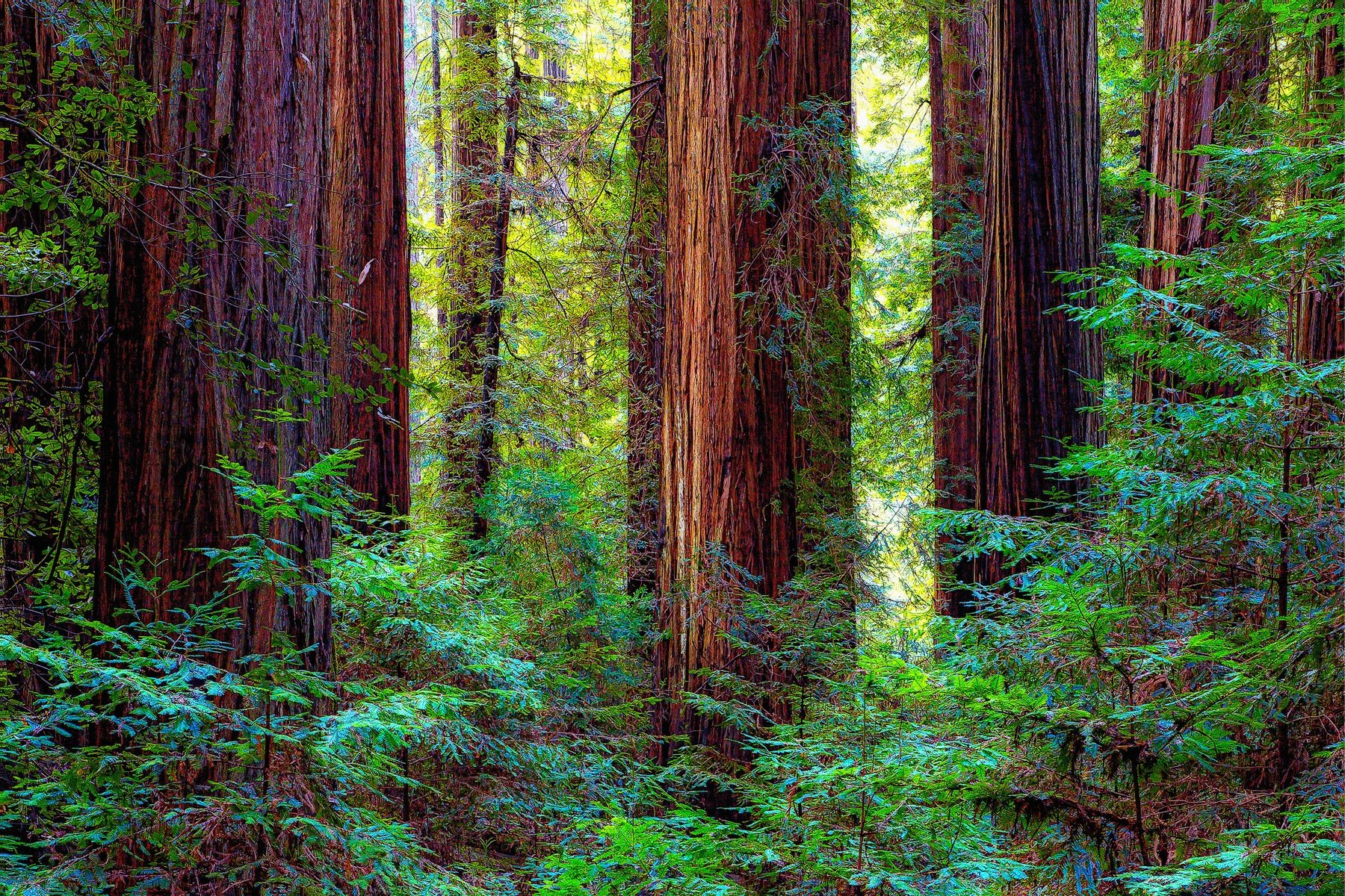 """WHO'S WOODS THESE ARE?"" - Jedediah Smith State Redwood Park. The only redwood park you ever really need to see. A road goes through the park for more than six miles. On this February day, I don't remember seeing another car. ""Who's woods these are? I think I know!"""