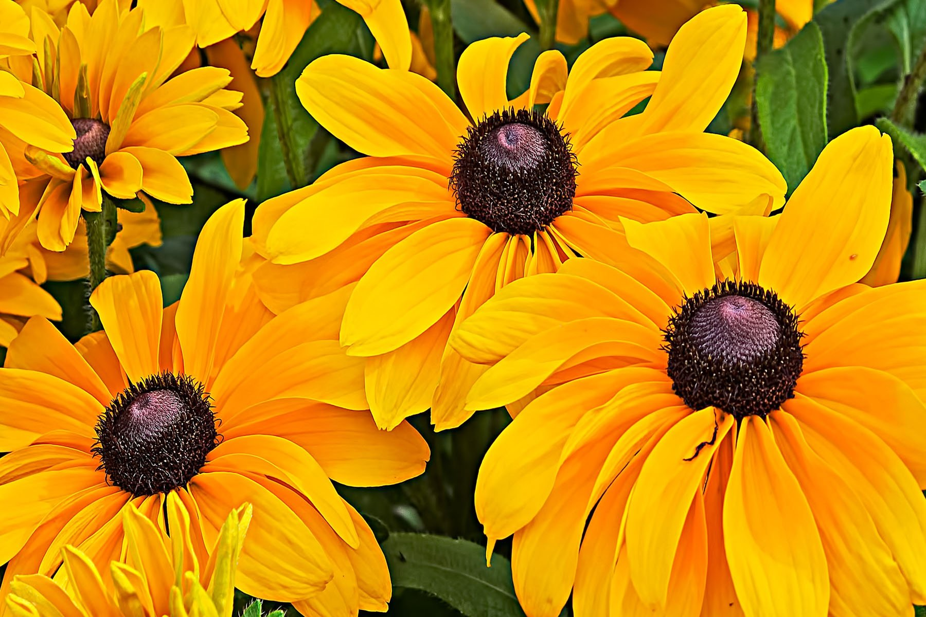 YELLOW - Yellow daisys, yellow flowers, yellow black-eyed susans... no matter what you call them, they are yellow.