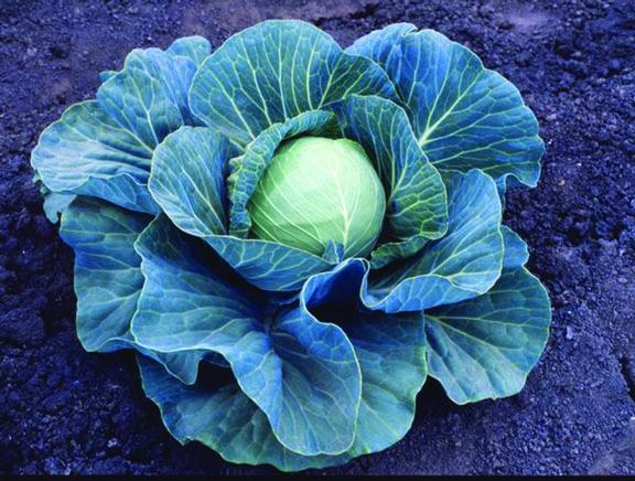 Cabbage Stonehead F1