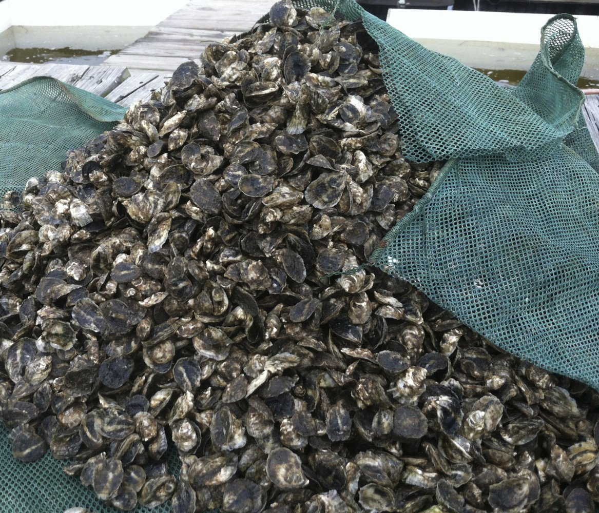 """SINCE THEN WE HAVE ADOPTED CULTURE TECHNIQUES FOR LARGE SCALE OYSTER SEED PRODUCTION 2012 WE PRODUCED THE FIRST COMMERCIAL OYSTER SEED IN FLORIDA 3 MILLION OYSTERS, 1/2"""" to 1-1/2"""" FOR 6 DIFFERENT FARMERS"""