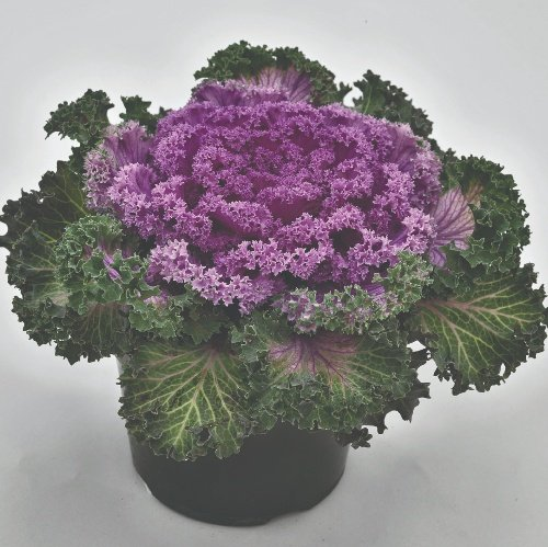 Ornamental Kale Nagoya F1 Rose