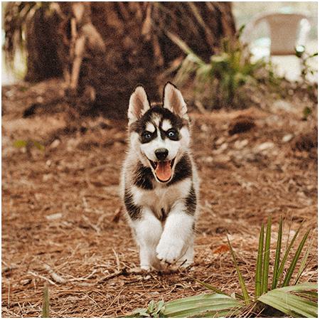 Husky with Blue Eyes