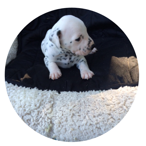 Akc Registered Dalmatians Purebred Dalmatian Puppies For Sale