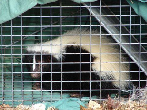 Ohio Skunk Removal Business