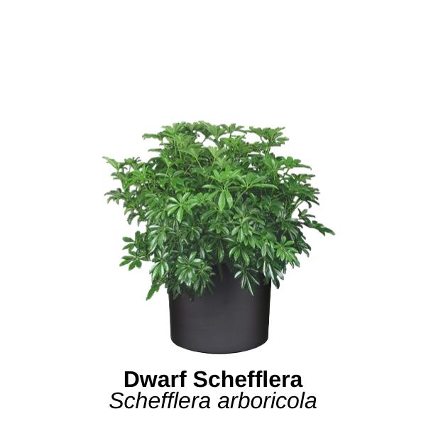 https://0201.nccdn.net/4_2/000/000/019/c2c/dwarf-schefflera.png