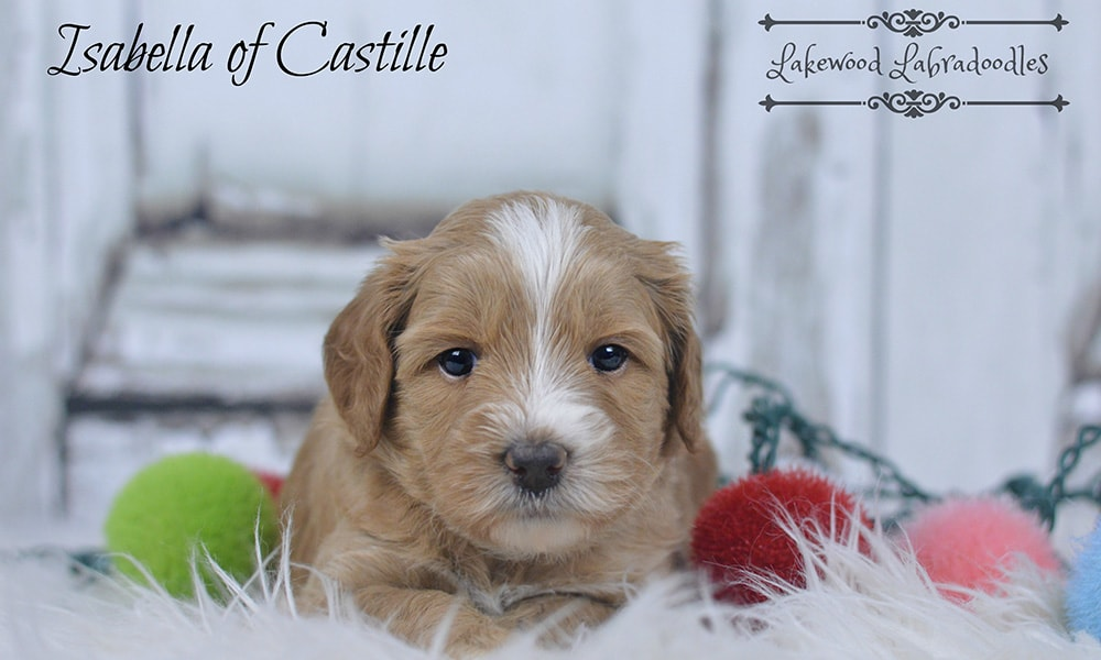 Australian Labradoodle Dogs Winter Haven