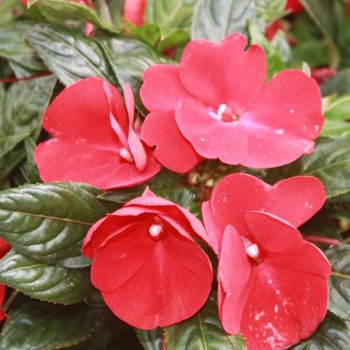 Florific Red