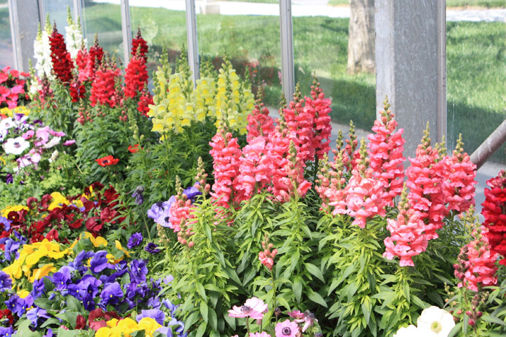 Antirrhinum Sonnet Mix F1