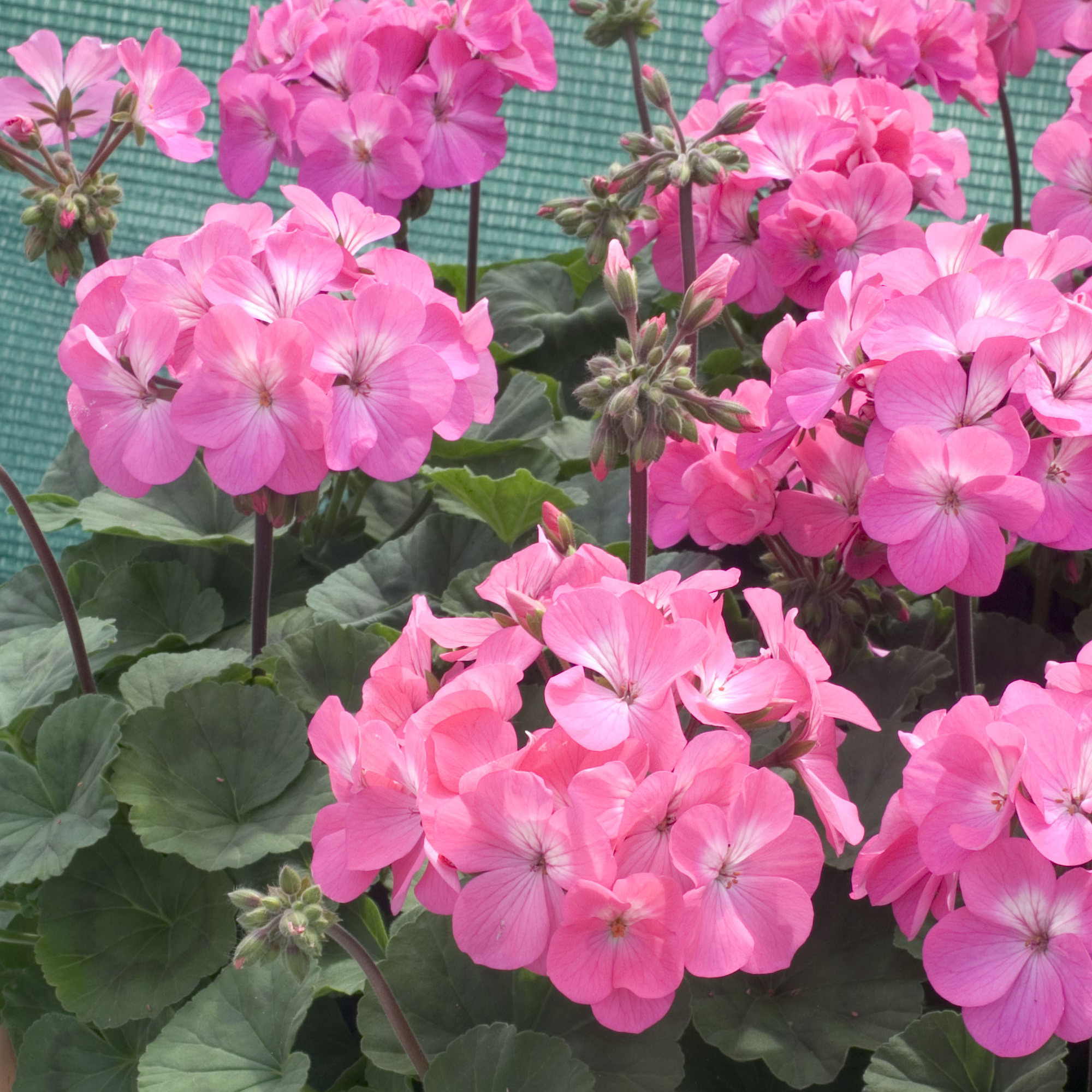 Geranium Nano  Pink