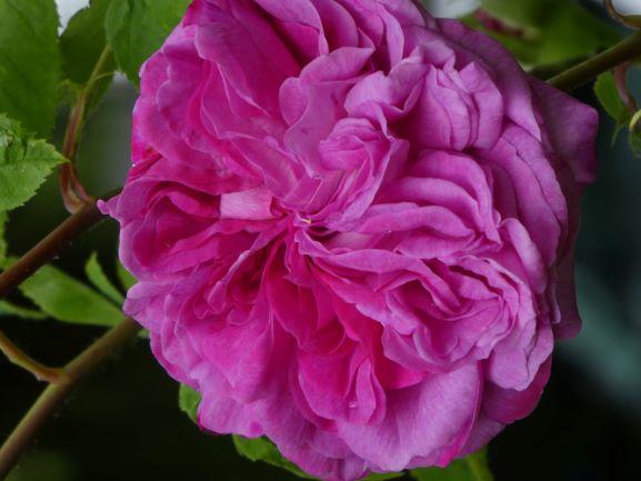 'Reine de Violettes', also in Brenda's garden