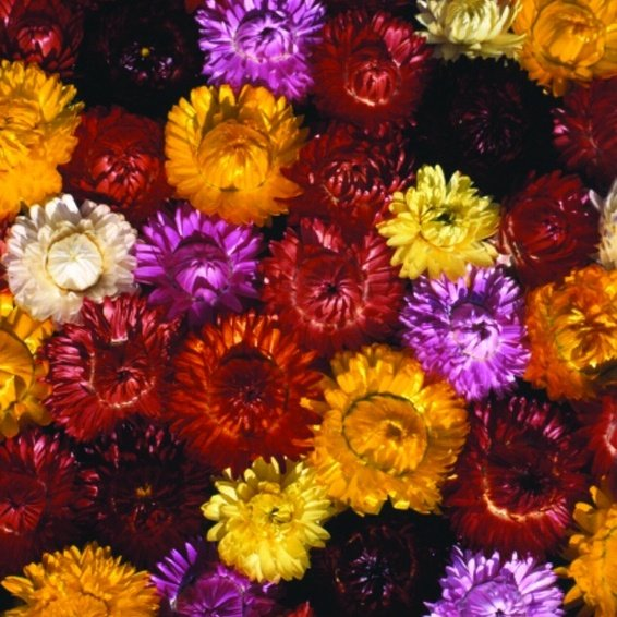 Strawflower King Size Mix
