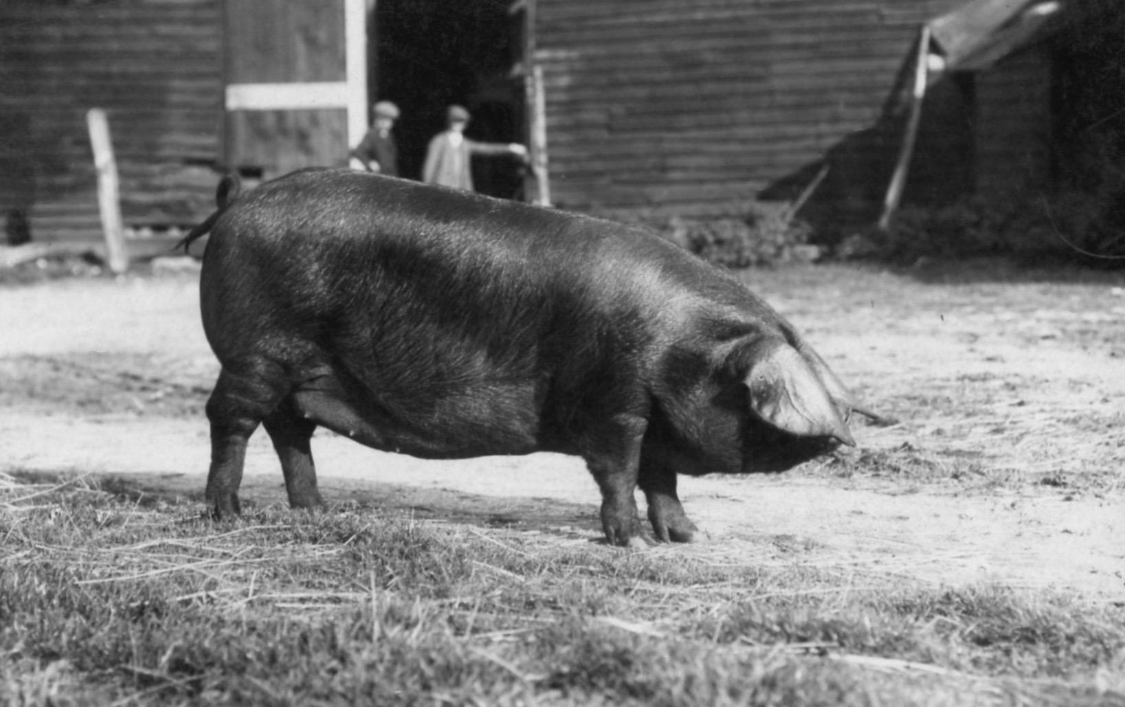 Large Black sow