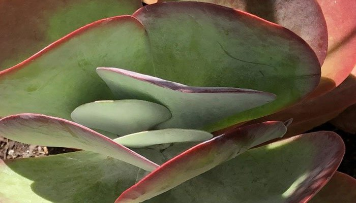 Succulent Collector