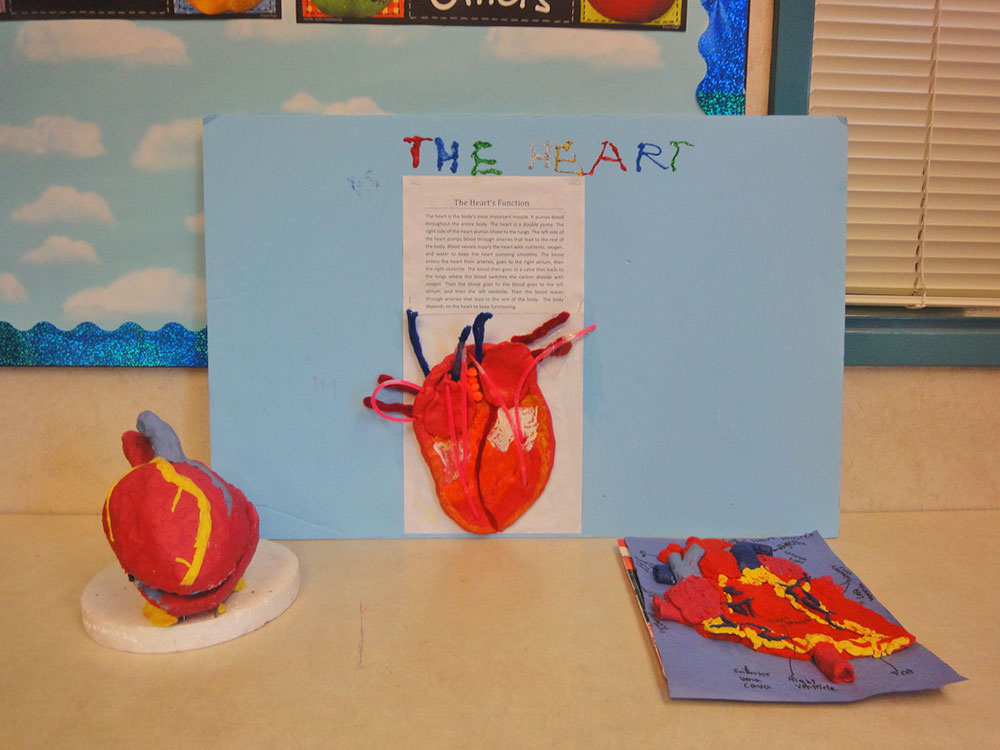 Heart Function Project for School