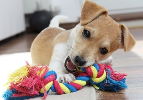 Cute Dog Playing