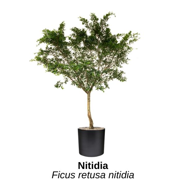 https://0201.nccdn.net/4_2/000/000/023/130/ficus-nitidia.png