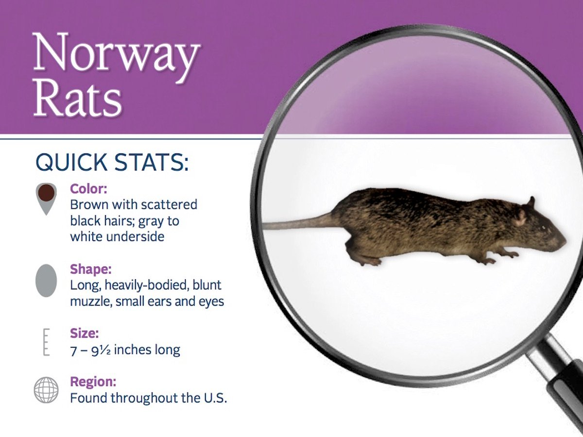 https://0201.nccdn.net/4_2/000/000/023/130/norway-rat-pest-id-card_front.jpg