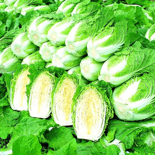 Chinese Cabbage Apollo