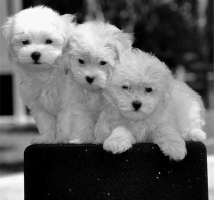 Three White Puppies