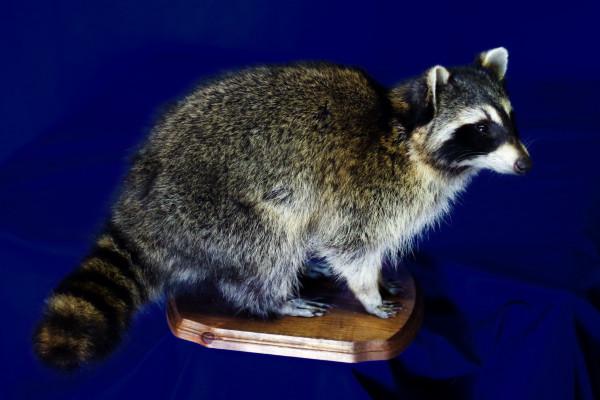 free standing raccoon