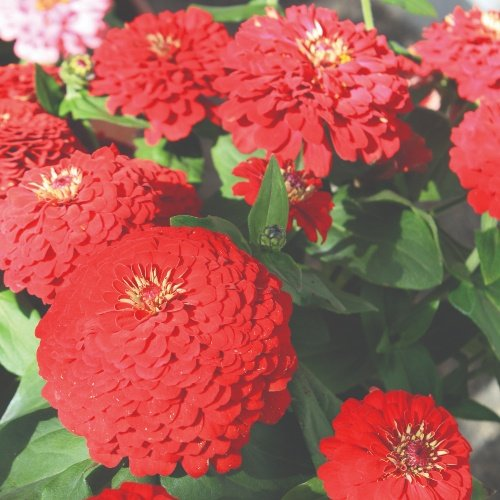 Zinnia Elegans Dreamland F1 Red